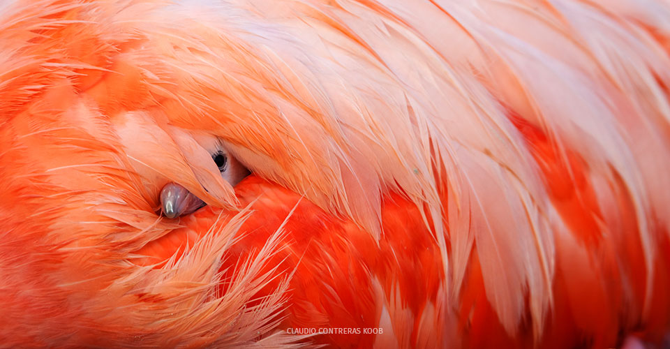 flamingo chick