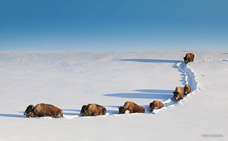 bison herd walking in the snow