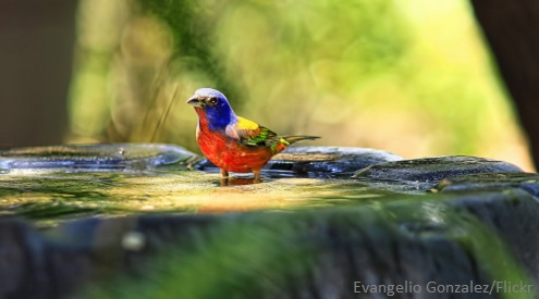 Painted bunting, photo by Evangelio Gonzalez