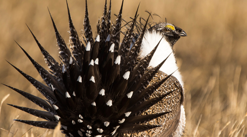 Sage-Grouse, Drew Youngedyke