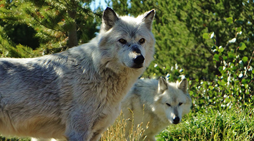 Wolf Pair by Nelma Oman