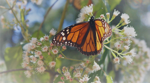 NWF, taken by Rebeca Quiñonez-Piñón, male monarch at the Monarch Butterfly Biosphere Reserve, Feb. 2019