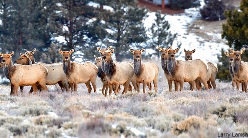 Elk herd. Credit: Larry Lamsa.