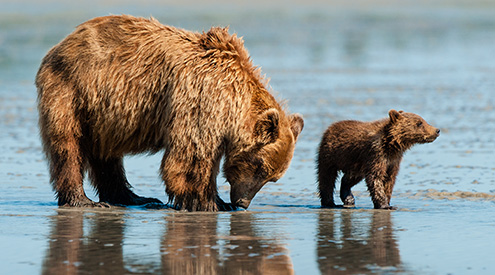 Brown Bears by Kandace Heimerr