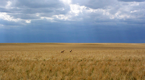 Photo of antelope grazing in a field, credit USDA NRCS
