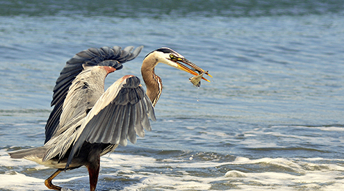 Great Blue Heron, Kimberly Finn