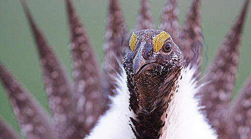 Sage grouse, Shutterstock