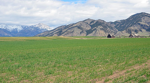 Photo of winter wheat near the Bridger Mountains, credit USDA NRCS