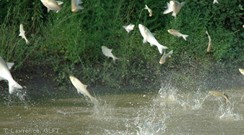 U.S. Army Corps of Engineers Approves Plan to Stop Asian Carp