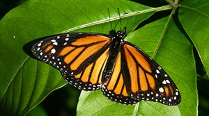 monarch butterfly, Shutterstock