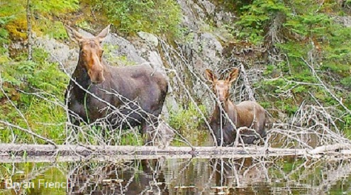 moose mom and calf, Bryan French