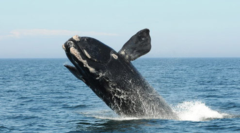 North Atlantic right whale, New England Aquarium, collected under NMFS permit 14233