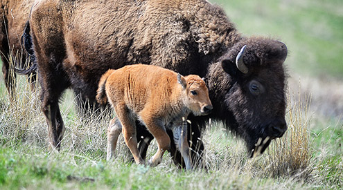 Bison and calf walking, Woodruff