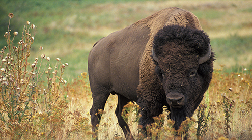 Bison photo by Jane Zalewski