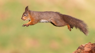 squirrel jumping with a nut in its mouth