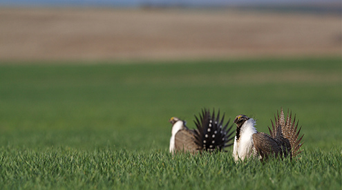 Greater Sage-Grouse on Lek, Shutterstock