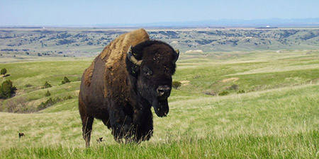 Bison in the Badlands, NPS