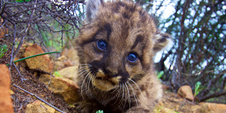 Cougar kitten by National Park Service