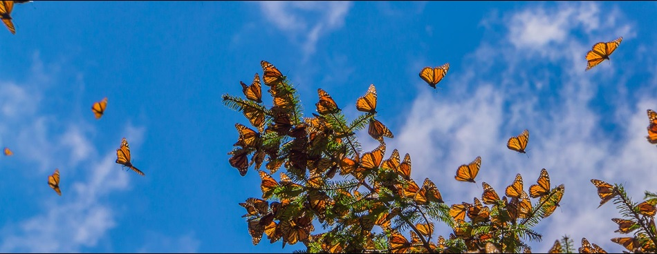 Monarch Butterfly migration, Shutterstock