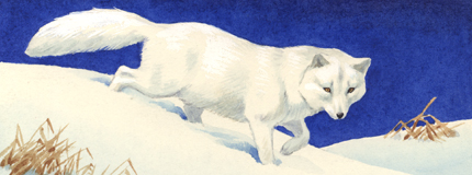 Arctic fox stamp art by Walter Weber