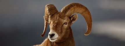 profile of a bighorn sheep