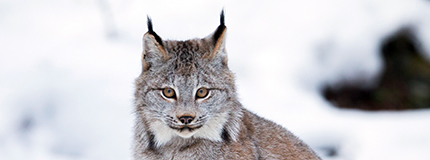 portrait of Canada lynx in snow