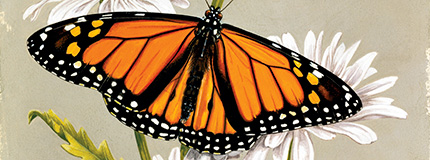 monarch butterfly illustration
