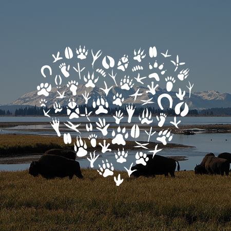 Heart symbol layered on a photograph of Bison on a plain