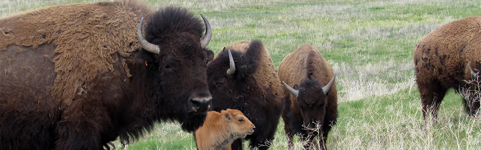 bison on tribal land