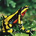 close-up of a harlequin frog sitting on a leaf