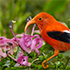 Will This Rare Hawaiian Forest Bird Go Extinct?