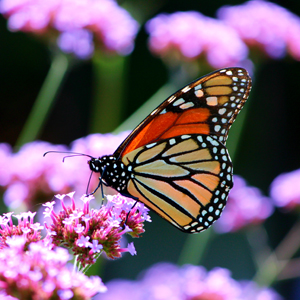 Monarch butterfly photo by Mia Bon