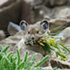 pika with plant in mouth