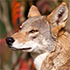 "Call to Action For Red Wolves: ""We Cannot Turn Our Back on a Native Species"""