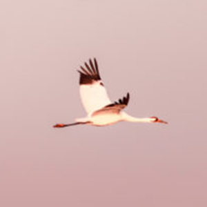 A Wild Year for the Whooping Crane