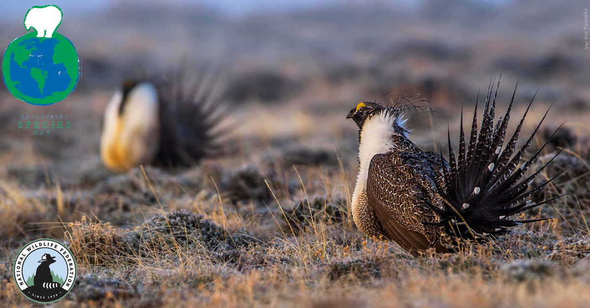 Greater Sage Grouse, Verdon Tomajko
