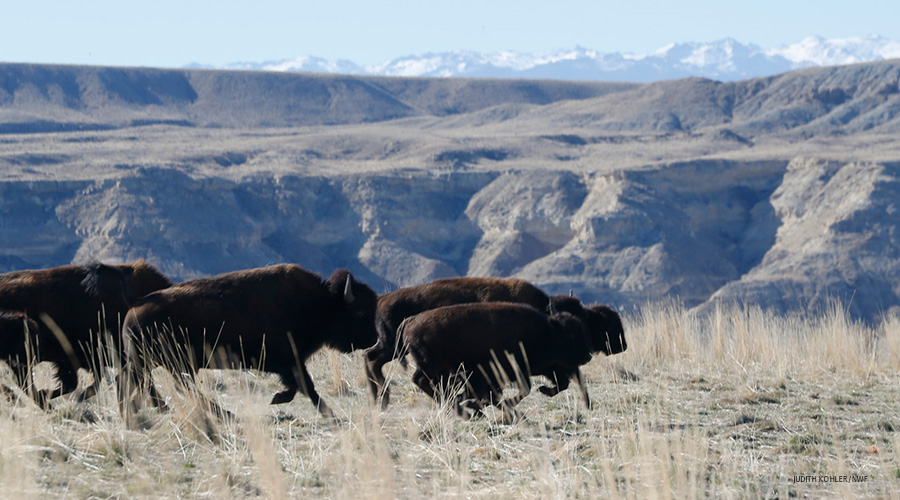 Eastern Shoshone Tribe's bison herd on the Wind River Reservation