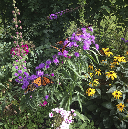 Monarch in garden