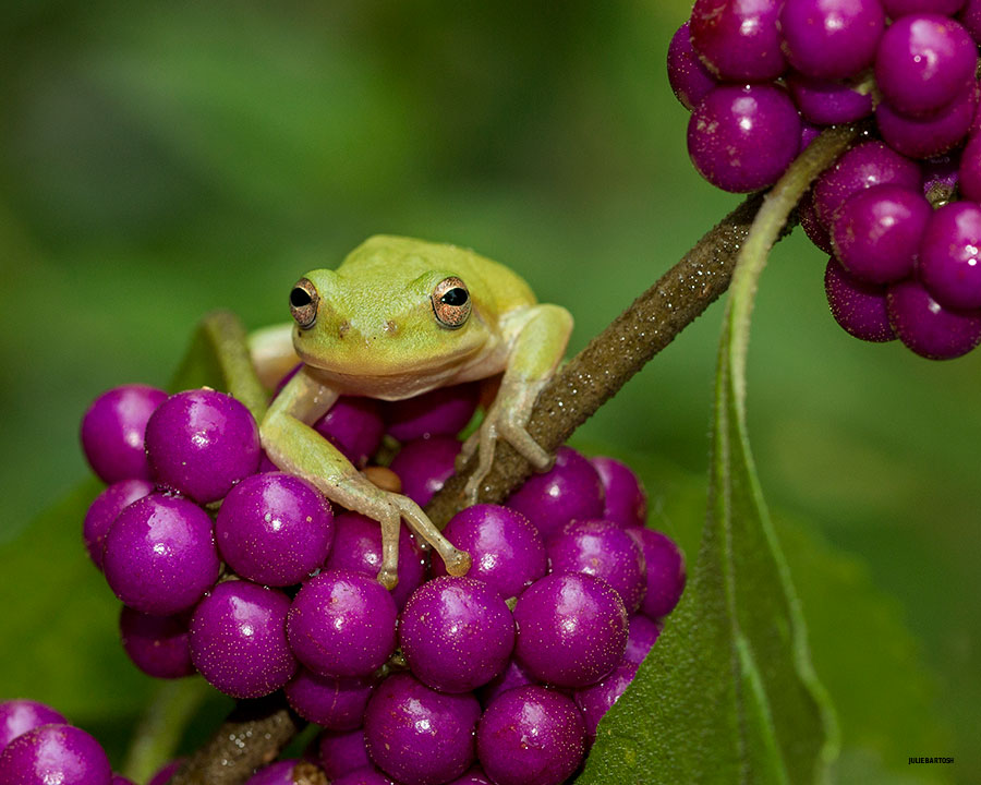 American beauty berry and tree frog