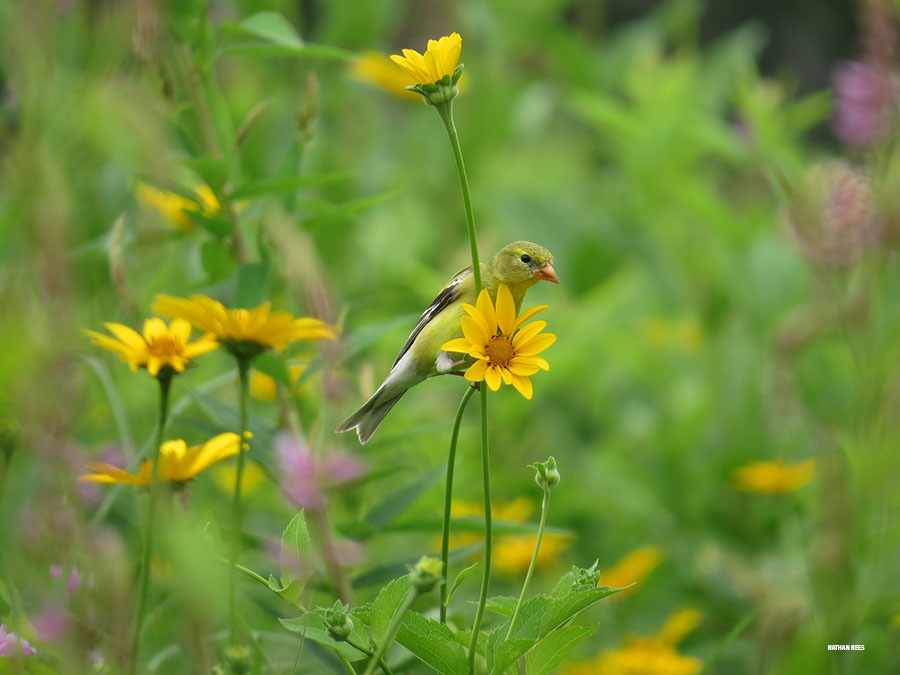 American goldfinch in a meadow of various flowers