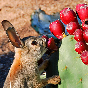 rabbit eating a desert plant