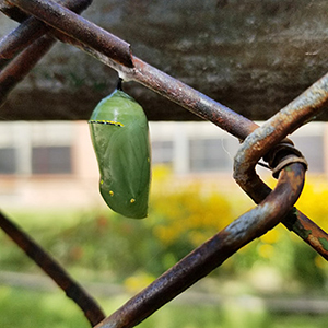a monarch butterfly pupa on a metal fence
