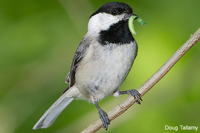 Carolina Chickadee: Doug Tallamy