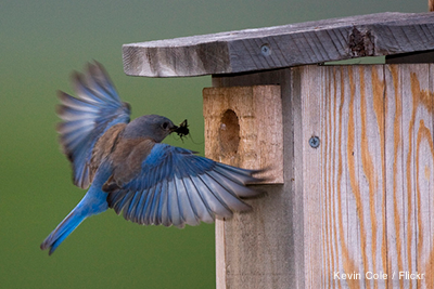 Bluebird Box: Kevin Cole