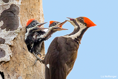 Pileated Woodpecker: Liz Noffsinger
