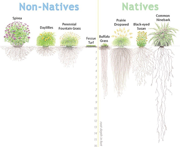 Illustration of native plants v. non-native plants