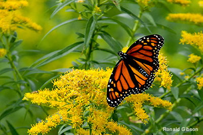 Monarch Butterfly Golden Rod: Ronald Gibson