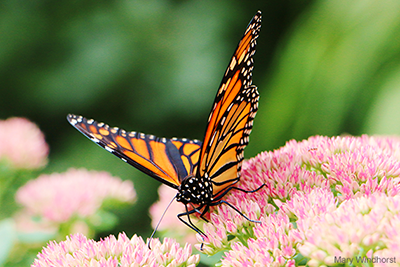 Monarch Butterfly: Mary Windhorst