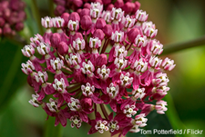 Swamp Milkweed: Tom Potterfield