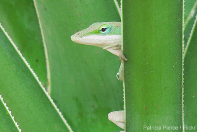Green Anole: Patricia Pierce